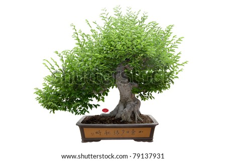 green bonsai tree isolated on white,miniature tree.