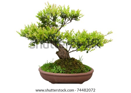 green bonsai tree of elm in a ceramic pot