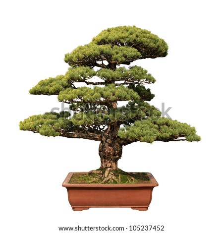 green bonsai tree of pine in a ceramic pot isolated on white - stock photo