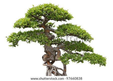 Green bonsai tree on white background. Chinese elm.