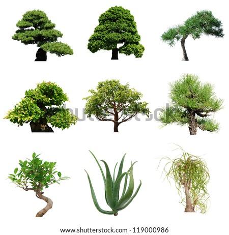 Green bonsai trees isolated white