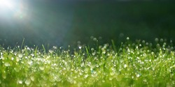 Green border of grass. Many dew drops glow and sparkle in sun in morning fresh wet grass in nature. Beautiful bokeh circles.