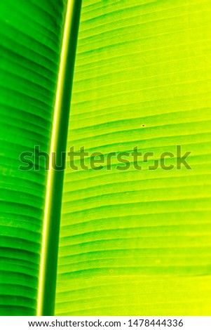 Green botany background. Banana palm tree leave. #1478444336