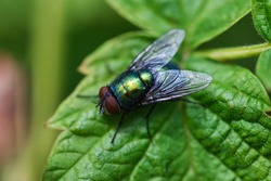 Green bottle fly texture macro, insect sitting on a leaf, detailed picture of eyes, wings and bristle hair.