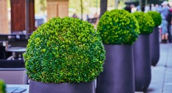 Green boxwood bushes (Buxus sempervirens) cut into spherical shapes in modern grey tubs, selective focus