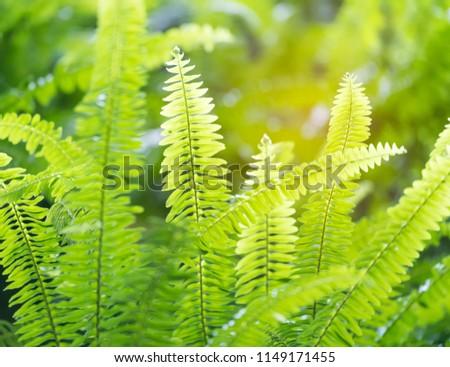 Green Bracken
