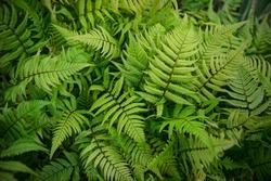 Green bracken plant background, close-up.