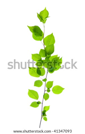 green branch isolated