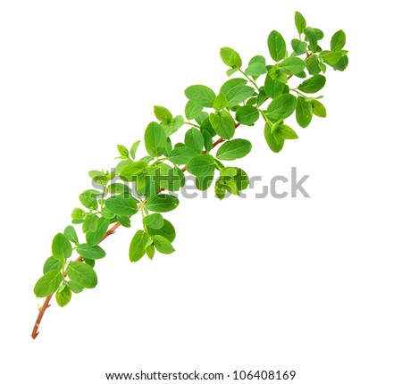 Green branch isolated on the white background