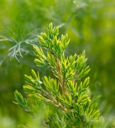 Green branch of a coniferous plant in nature. Macro
