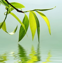 green branch of a willow