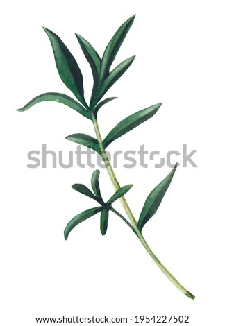 Green branch of santoreggia isolated on white background.  Watercolor hand drawn illustration. Zdjęcia stock ©