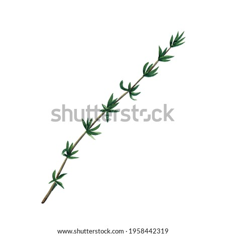 Green branch of thyme isolated on white background.  Watercolor hand drawn illustration. Zdjęcia stock ©