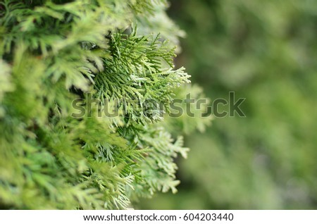 Green branches of a coniferous tree close-up in the daytime. Photo of branches on the background of defocused green coniferous tree #604203440