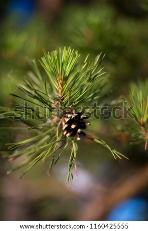 Green branches of a pine with cone. #1160425555