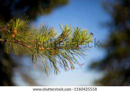 Green branches of a pine with cone. #1160425558