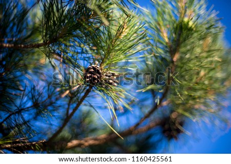 Green branches of a pine with cone. #1160425561