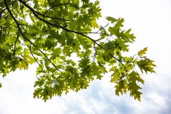 Green branches of the oak tree with tiny young acorns against the white sky background