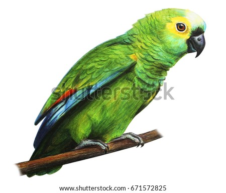Shutterstock Green brazilian parrot amazon drawing (Amazona aestiva)