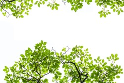 Green Bretschneidera leaves  isolated on white background