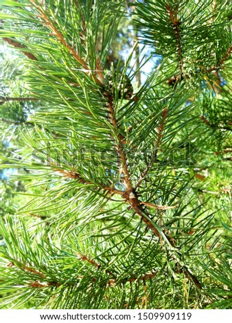 Green bright branch of pine close up Сток-фото ©