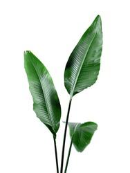 Green Broad Leaf Bird of Paradise Tropical Plant on White Background Indoor Houseplant Botanical