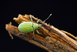 Green Broad Nosed Weevil, Polydrusus formosus, Satara, Maharashtra, India
