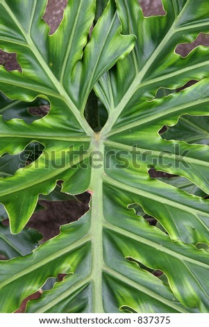 Green broadleaved tropical ornamental plant - stock photo