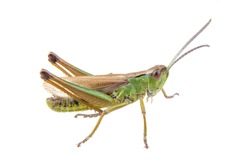 Green brown grasshopper isolated on a white background