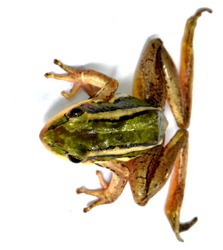 Green-brown-yellow striped frog, isolated on a white background