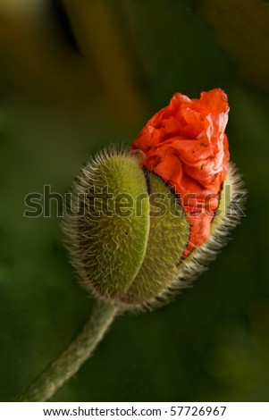 Green bud of a poppy flower with young red crinkled petals - stock photo