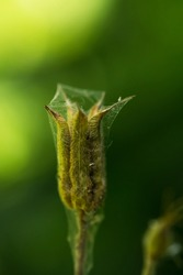 Green bud with spider web. Macro photo. Plant bud texture and web texture. The spider lives in a dry bud. Beautiful floral abstract spring background. Fresh greens