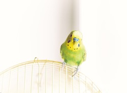 Green Budgerigar (domestic budgie) sitting on cage