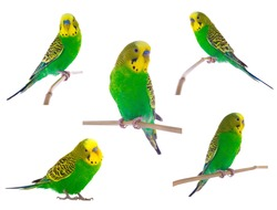 green budgie on a white background