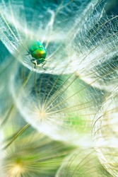 green bug in the dandelion,macro photo from the nature