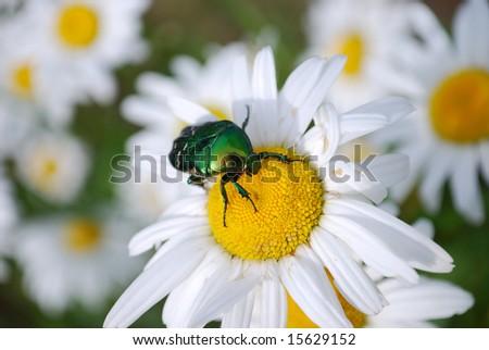 Bug on a daisy Green bug on a daisy shallow