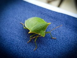 Green bug on blue background. Commonly known as