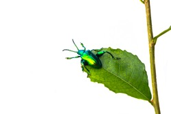 Green bug on green leaf white background,Leaf beetle Chrysolina graminis isolated on white background.