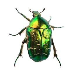 Green bug (rose chafer, cetonia aurata) isolated on white