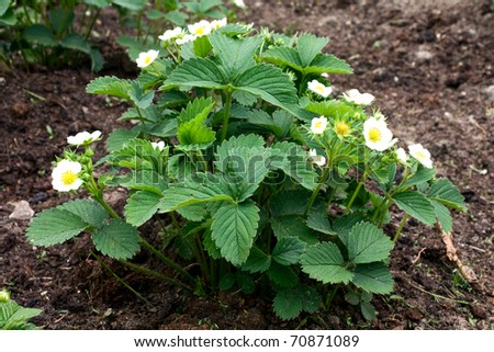 green bush blooming in the spring strawberries