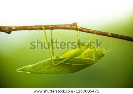 Stock Photo Green bush cricket, katydid or long-horned grasshopper (insect family Tettigoniidae) attached to a tree branch wooden stick macro closeup photo with light background out of focus.