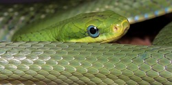 Green Bush Rat Snake (Gonyosoma prasina)