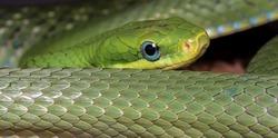 Green Bush Rat Snake (Gonyosoma prasina)