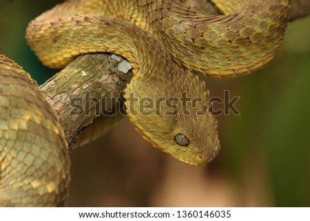 Stock Photo Green bush viper, also known as variable bush viper, leaf viper or Hallowell's green tree viper in its natural environment. A venomous snake species endemic to west and central Africa.
