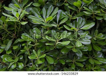 Green bush with laurel leaves