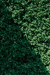 green bush with shadow in diagonal, green hedge or green leaf wall for background