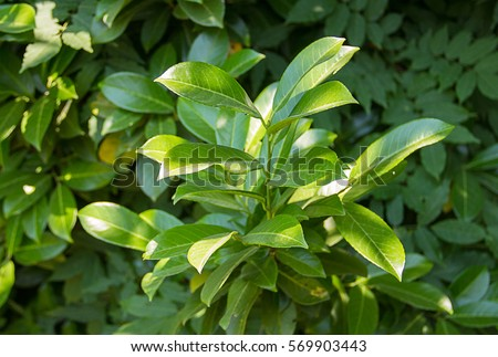 green bushes laurel tree catch the rays of the sun in the shade of a tree #569903443