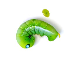 Green butterfly worm (Leaf eating caterpillar) on white background