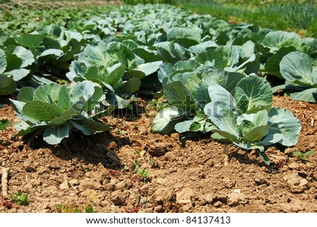green cabbage in rows growing on field