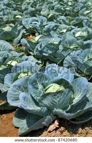 green cabbage on field